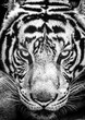 Tiger and his eyes fierce in the black and white style.