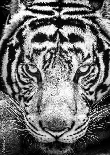 Tygrys i jego oczy zacięte w czarno-białym stylu.