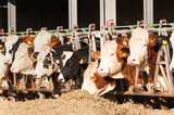 Cows eating hay in cowshed