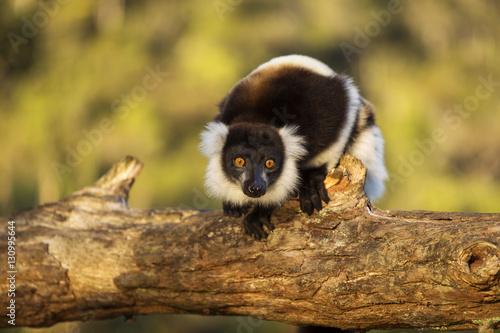 Lemur in their natural habitat, Madagascar. Billede på lærred