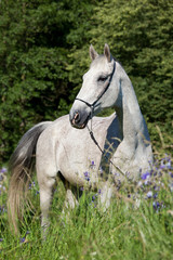 Portrait of nice white horse in blooming meadow