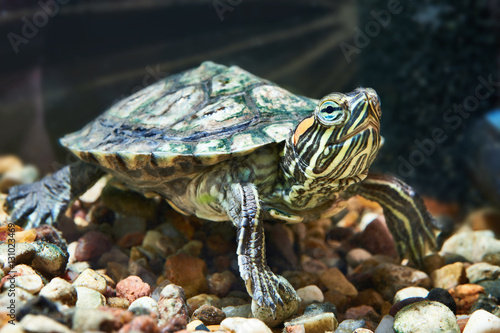 Poster Small red-eared turtle in water