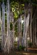 Banyan trees in downtown Honolulu