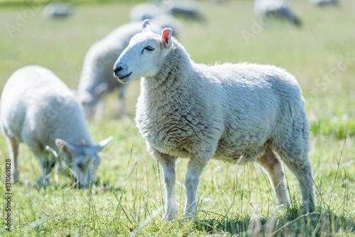 Schafe auf einer Weide in Schottland bei Sonnenschein Poster
