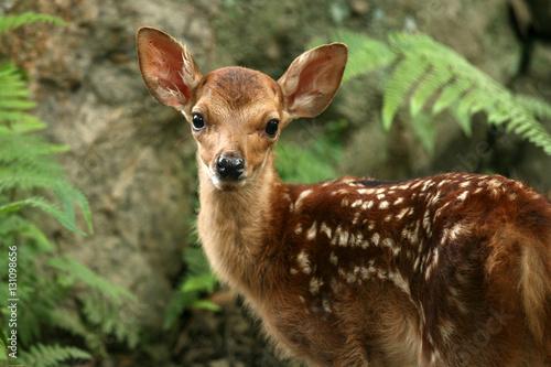 Baby Deer, Japan плакат