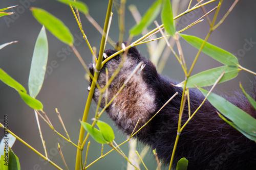 Red pandas paw Poster