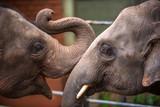 Heads of Asian elephants in Sri Lanka