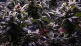Marijuana Garden Indoor. Cannabis plants in an indoor grow operation.