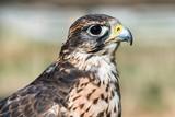 Saker falcon (Falco cherrug) head closeup