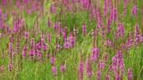 Purple Loosestrife flower