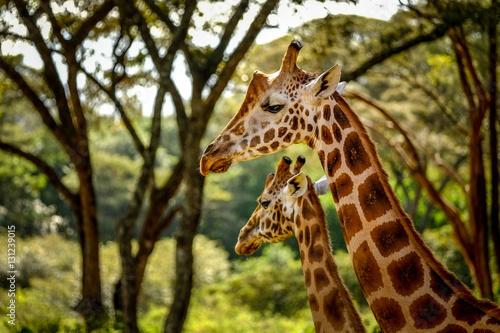 Poster Endangered Rothschild Giraffes in Nairobi, Kenya