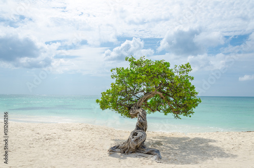 Poster famous Divi Divi tree which is Aruba's natural compass