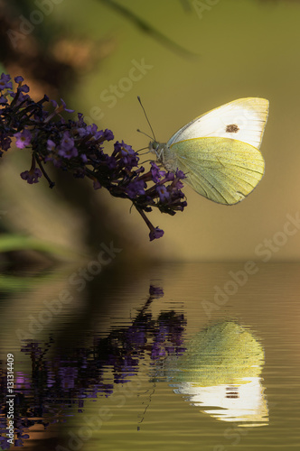 Poster Butterfly reflection
