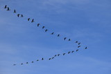 Geese In V Formation - 131319838