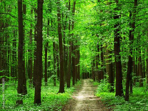 Fototapety, obrazy : forest