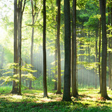 Fototapety Morning in the forest