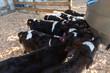 Calves drinking milk