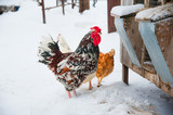 Beautiful bright rooster and chicken in snow