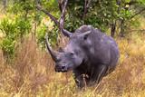 Large white rhino. Meru park, Kenya