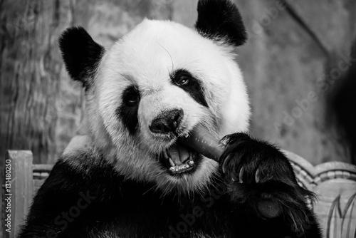 Plexiglas Panda Panda