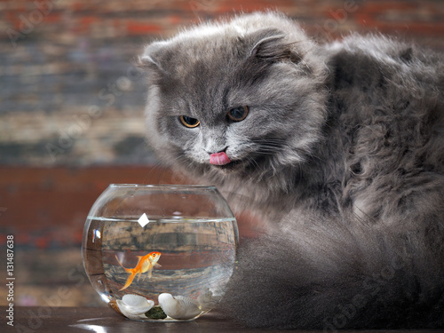 Poster The cat licks lips near round aquarium with gold fish