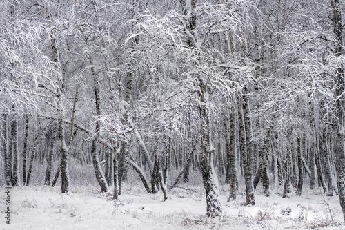 Birch forest after a snowfall