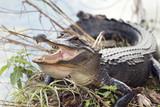 American Alligator Basking