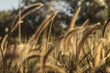 Golden Grass