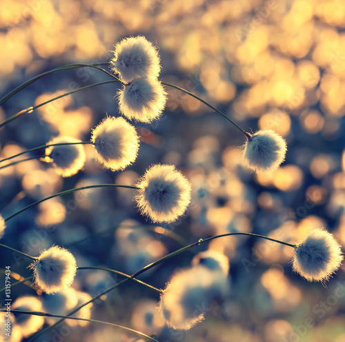 Poster Water planten Blooming cotton grass on a background of a colorful sunset
