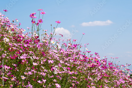Poster cosmos flower in sunshine, Rayong, Thailand