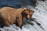 Brown bear fishing for salmon