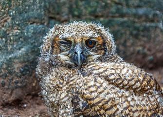 Nestling owl fallen out of the nest in the El Cedral, Los Llanos - Venezuela, Latin America