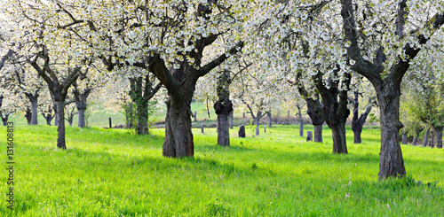 Papiers peints Vert chaux Orchard with Cherry Trees in Full Bloom