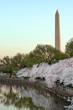 Washington Monument during National Cherry Blossom Festival in Washington, DC