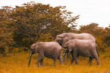 Family of elephants walks and grazes in the South African bushes