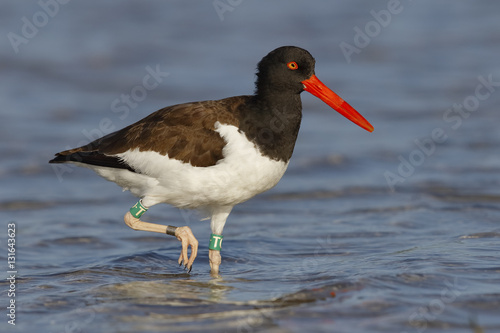 Poster American Oystercatcher foraging in a Florida tidal pool