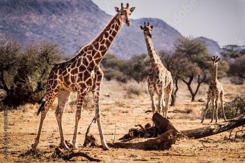 Poster Desert giraffes