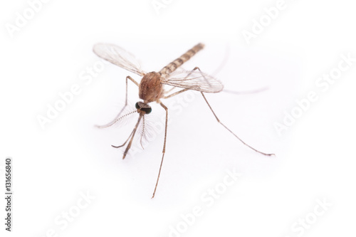 Mosquito left of side - 131656840