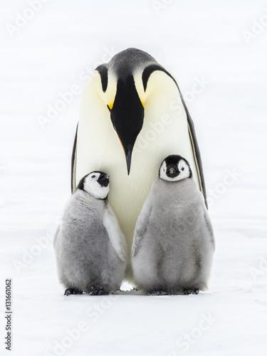 Papiers peints Antarctique Emperor penguins on the frozen Weddell sea