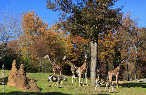 Giraffes and Zebras at the Asheboro Zoo in North Carolina Poster