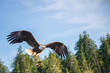 North American Bald Eagle in mid flight, hunting along river wat