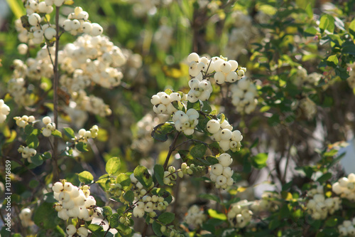 Plakat Symphoricarpos (Snowberry) Magical Galaxy