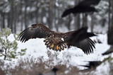 Eagle approaching, eagle arrival, eagle landing, ravens in panic. Bird of prey.