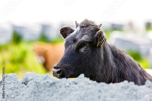 Cute black calf Poster