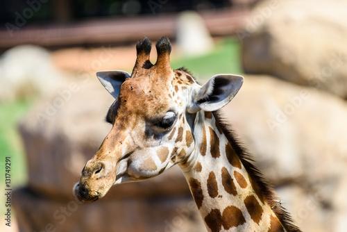 Poster Wild African Giraffe Head Portrait