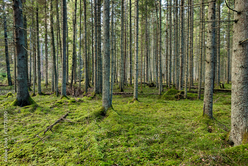 Aluminium Khaki tree trunks in rows in ancient forest