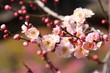 梅の花(無類絞り)