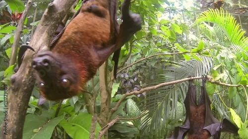 Staande foto Kip Huge Flying Fox bat hanging on tree and trying to bite camera. Closeup GoPro HD. Bali
