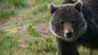 Rocky Mountain Grizzly Bear