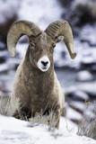 Bighorn ram in snow